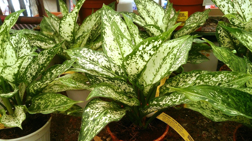 low maintenance houseplants — aglaonema also known as chinese evergreen plant