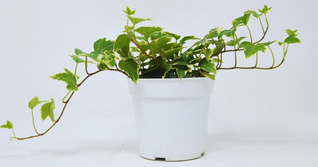 low maintenance plants — english ivy plant from etsy