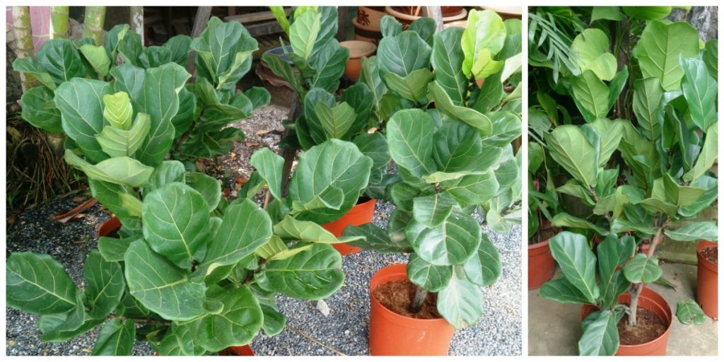 low maintenance houseplants — fiddle leaf fig tree