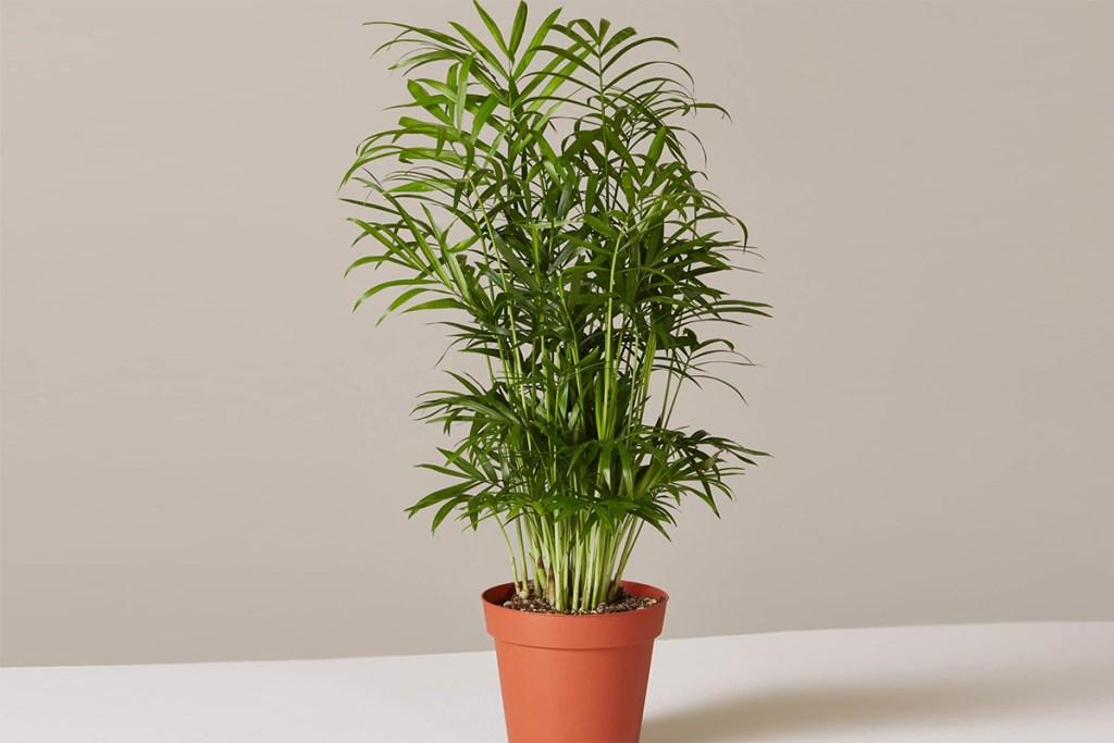 low maintenance houseplants — parlor palm plant