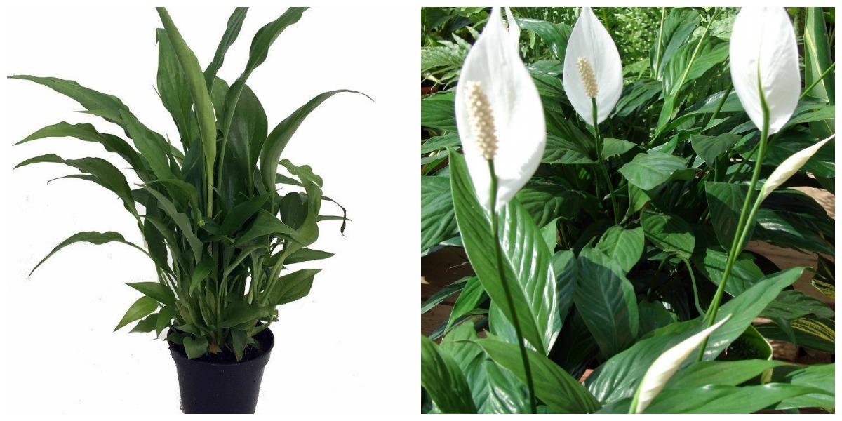 low maintenance houseplants — peace lily plant and bush