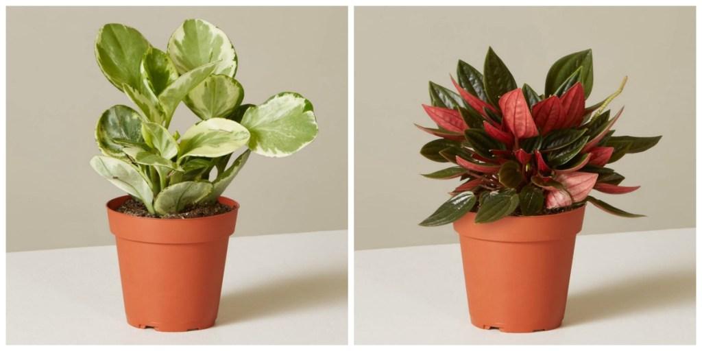 low maintenance houseplants — various colored peperomia plants