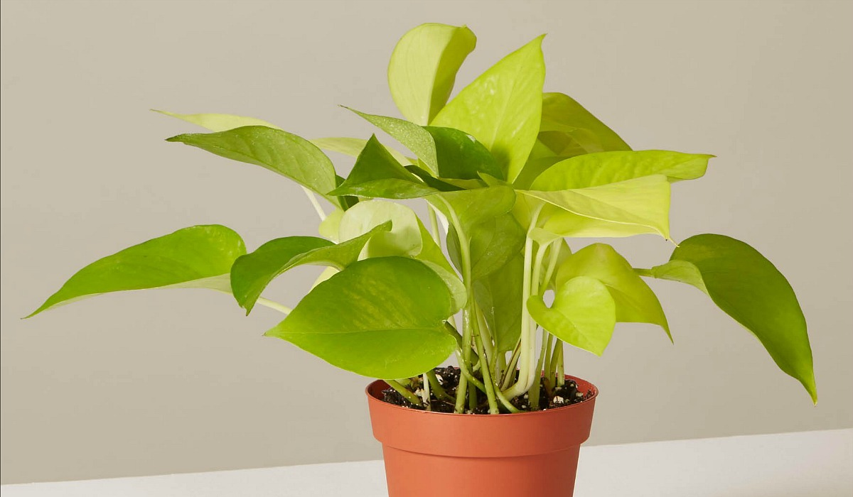 low maintenance houseplants — pothos neon plant from the sill
