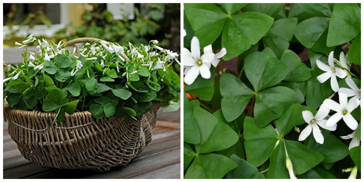 low maintenance houseplants — shamrock good luck plant with small white flowers