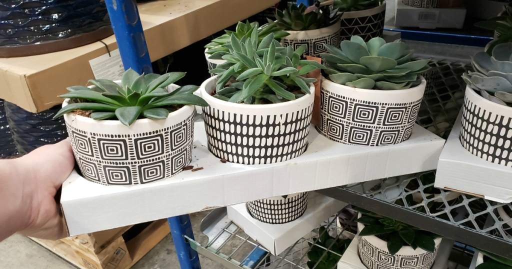 Costco Potted Succulent plants