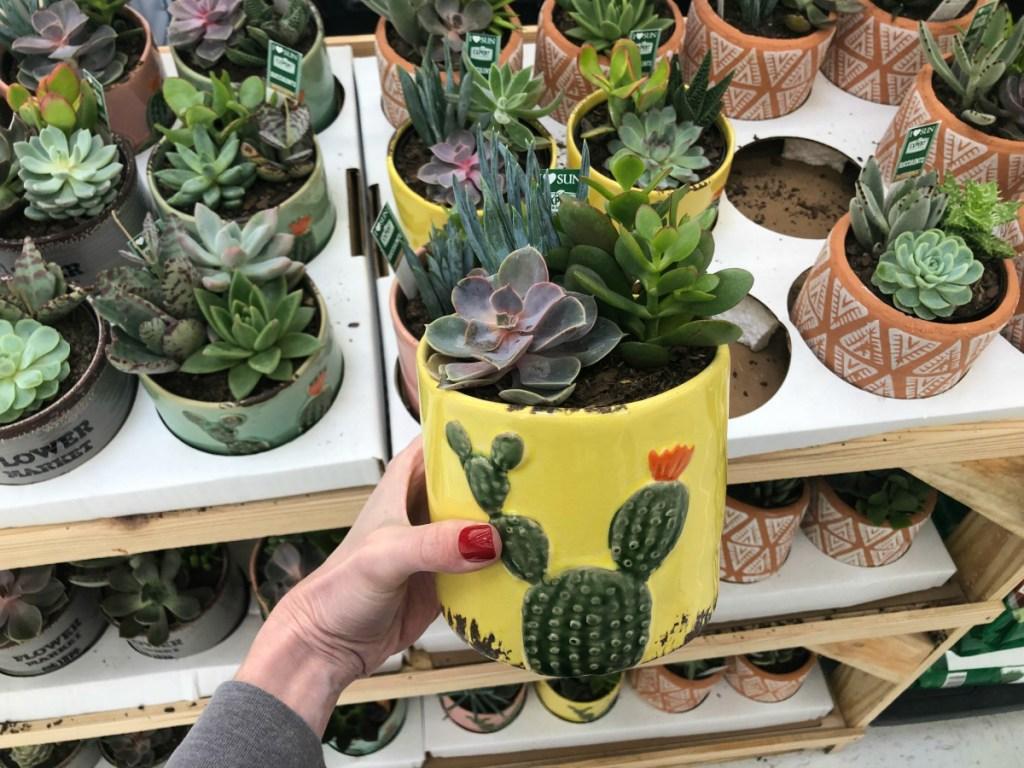 Succulent pottled plants at Walmart