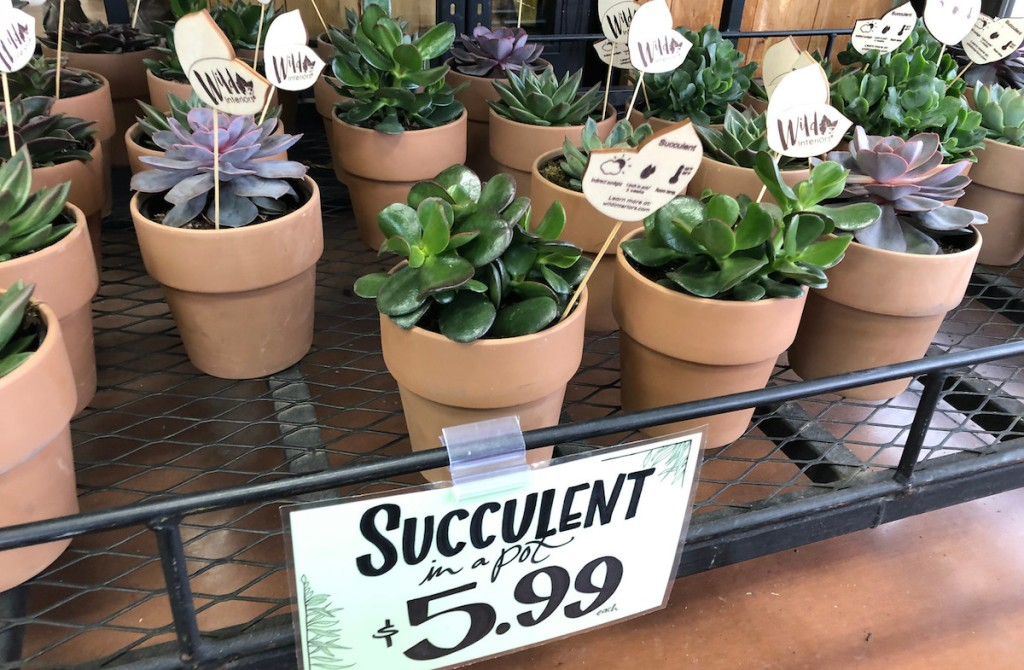 mini potted purple and green succulents with price tag