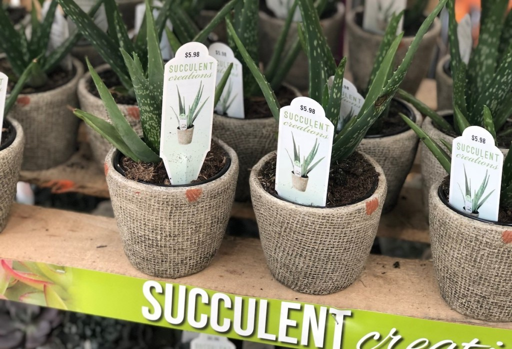 potted succulents in soil on a wood shelf
