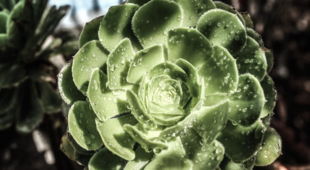flower shaped green succulent with water droplets on the surface