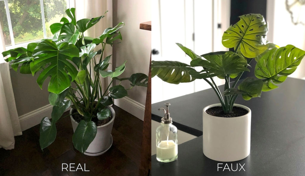 large and small planted monstera plants