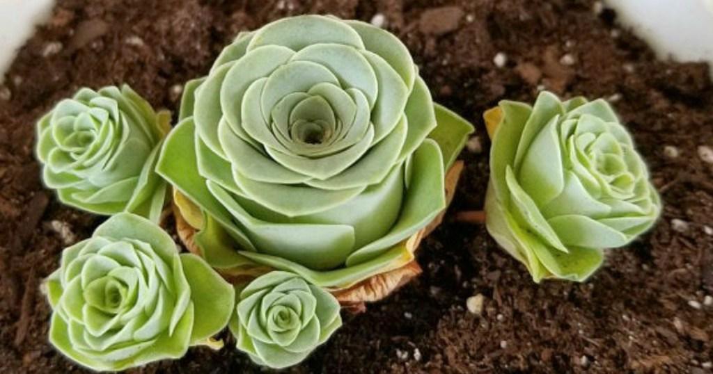 Greenovia dodrantalis Rose Succulents