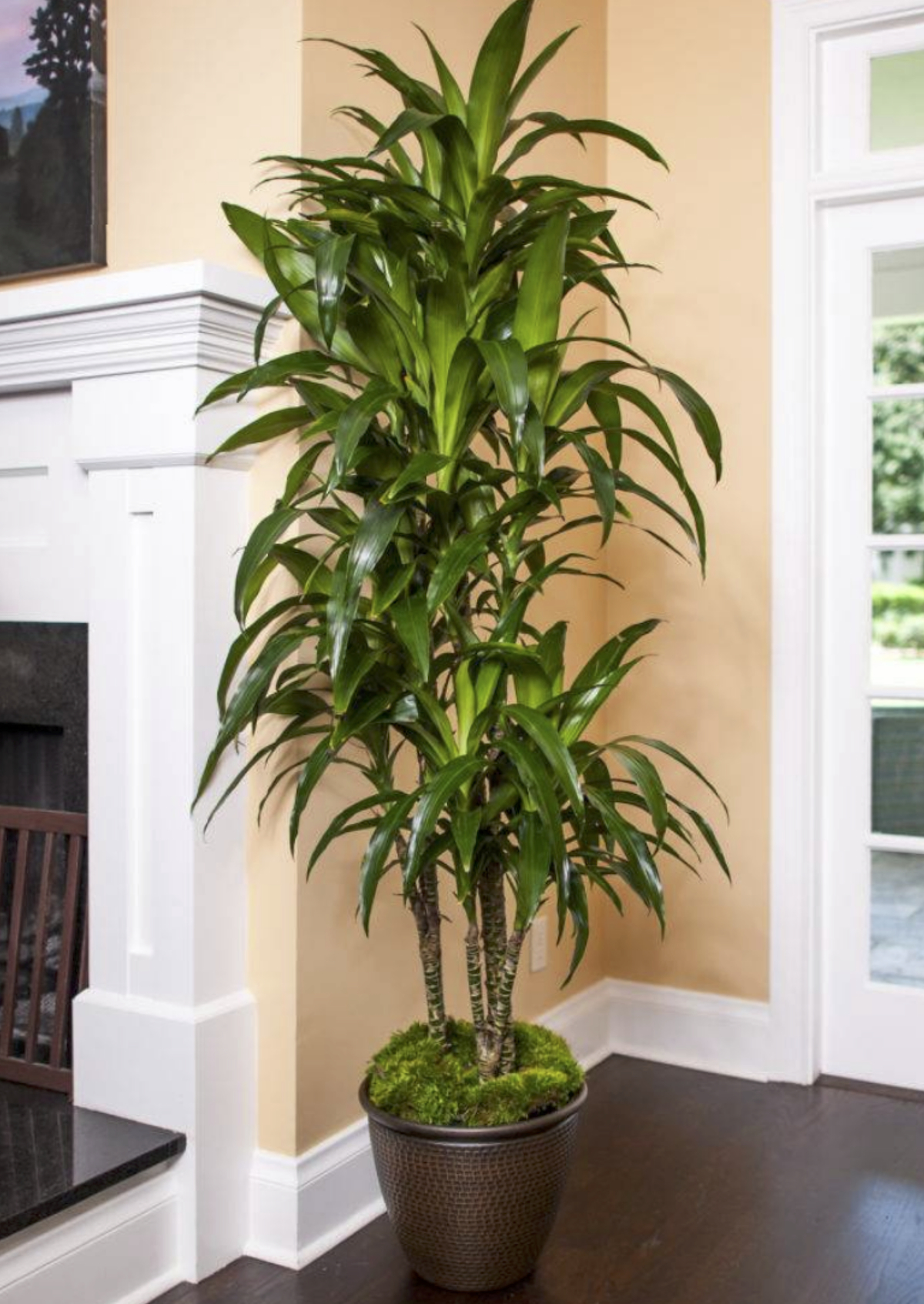 tall green leaf Lisa Cane Dracaena tree standing next to fireplace