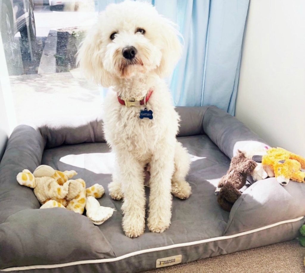 white dog on bed with toys